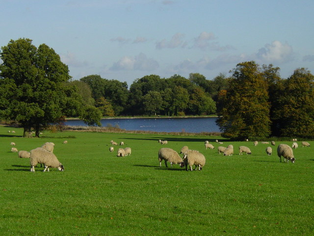 Sheep grazing in Blickling Park