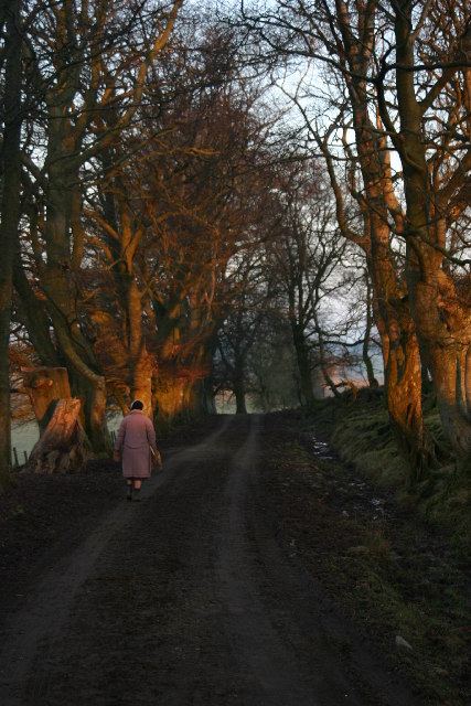 Lane lined with old trees