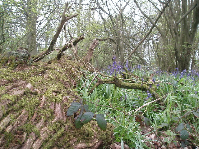 "Early bluebells in ""bluebell wood"""