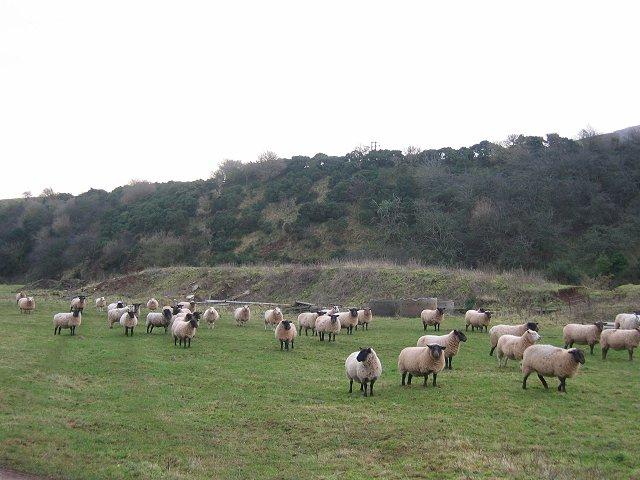 Sheep, Spott Burn.