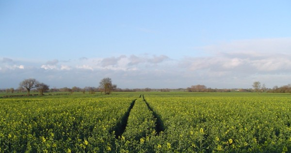 Oilseed Rape,  Wistow