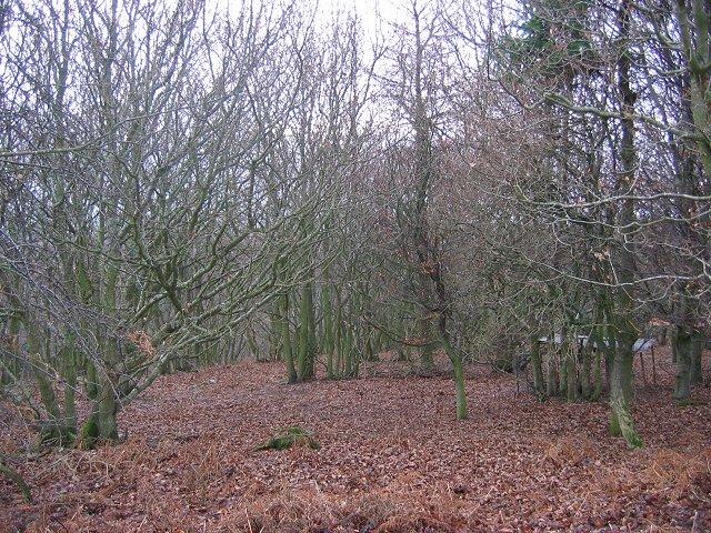Oak Wood.