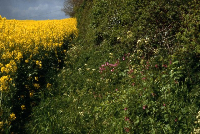 Rape field near Castle Cary