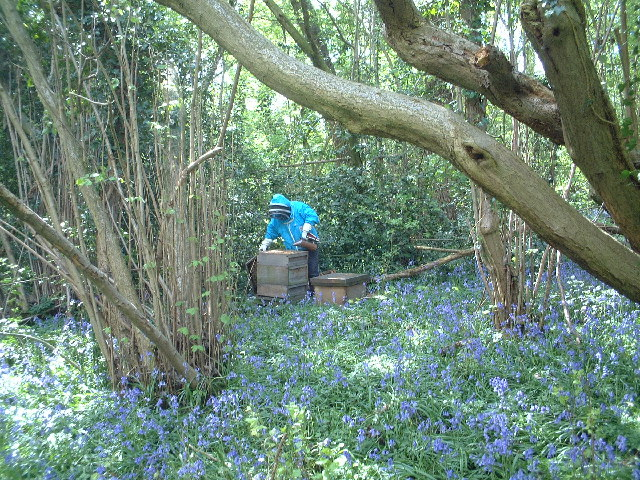 Bee Hives and Bluebells in Mayalls Coppice