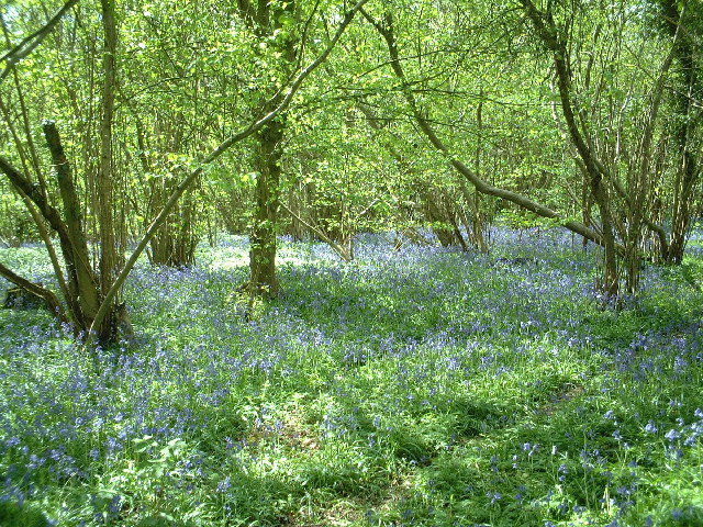 Bluebells in Mayall's Coppice
