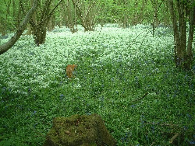 Wild Garlic in Mayall's Coppice