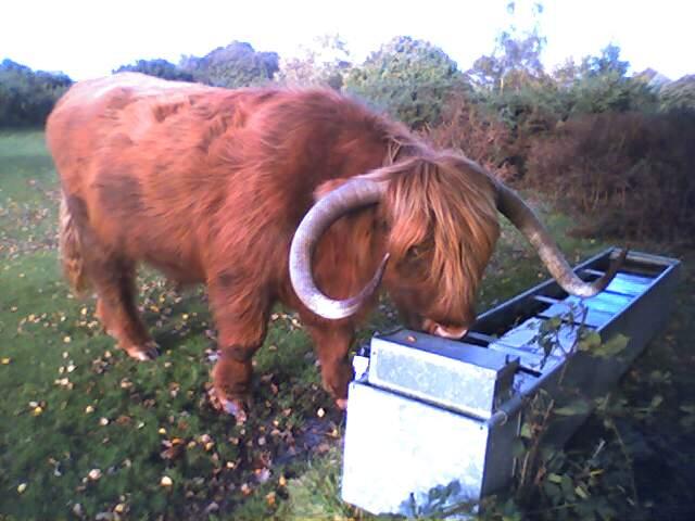 Highland Cow at Headley Heath