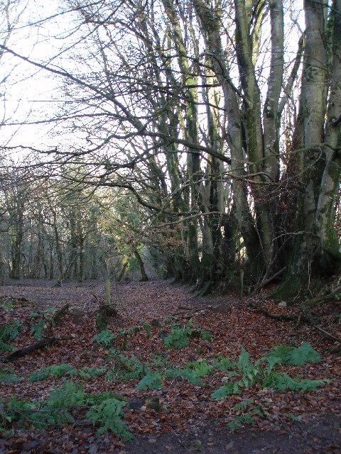 Beech hedge in the woods.