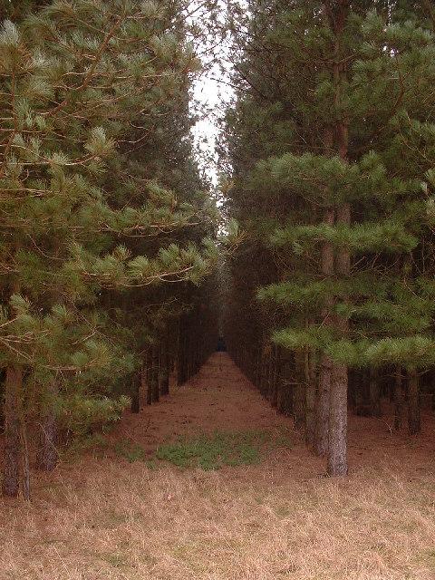 Conifers at Roudham Heath