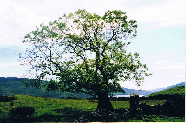 Ruined croft  and tree