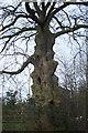 SJ7979 : Unusual tree off Damson Lane, Mobberley by Roger Gittins
