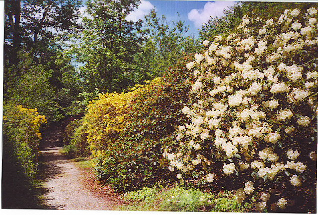 Rhododendrons in Leith Hill Wood