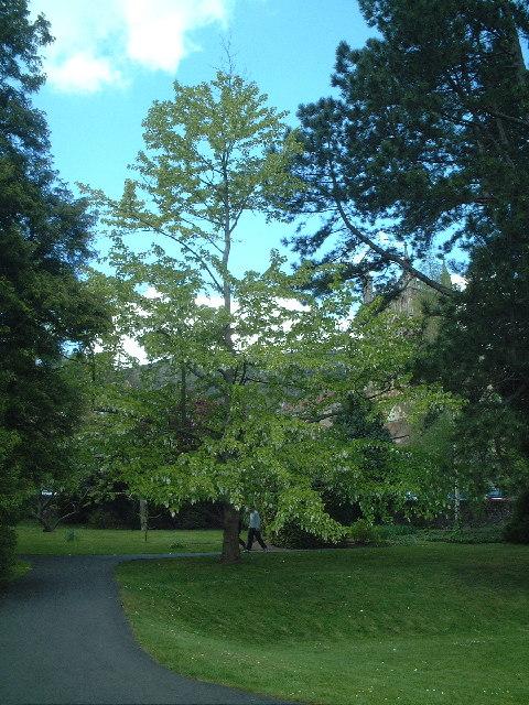"""Pocket Handkerchief Tree"", Priory Park"