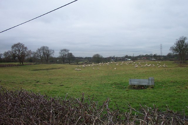 Sheep grazing - South East corner of Mobberley Parish