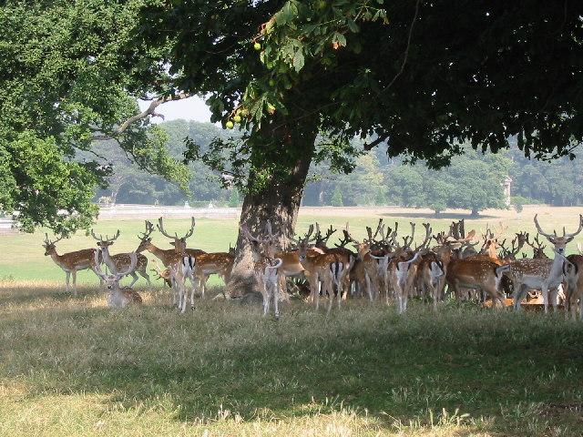 Deer in park at Holkham Hall