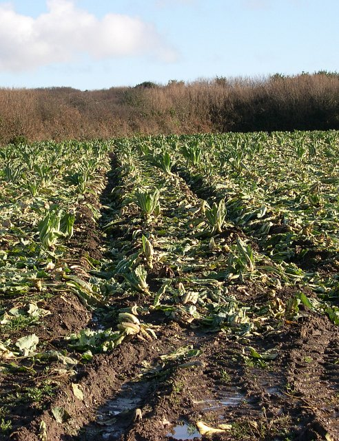 Cabbage Field - Recently Harvested