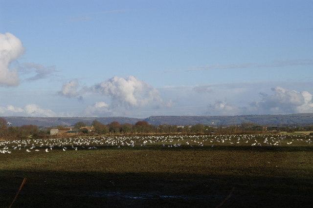 Gulls in field off Vole Road