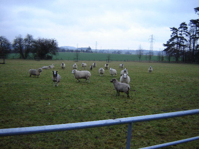 Sheep in a field near Farringdon