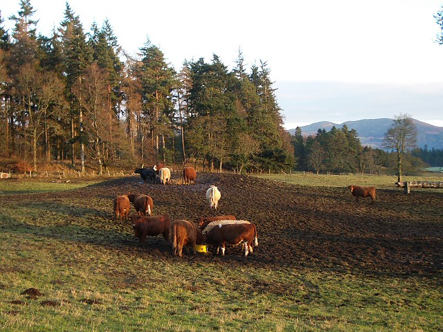Cattle near Blair Castle