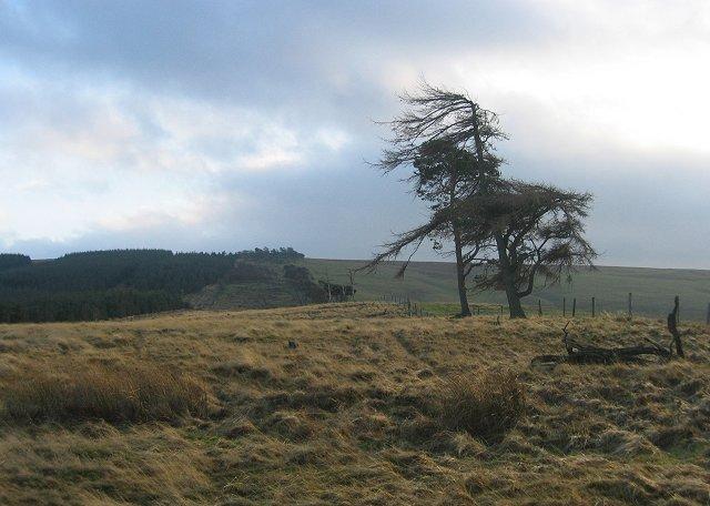 Old shelterbelt, Windy Law.