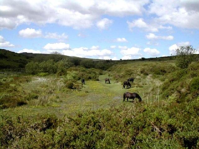 Ponies on Dartmoor