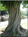 This is one of the many mature trees in Cheam Park, love that twisted trunk.