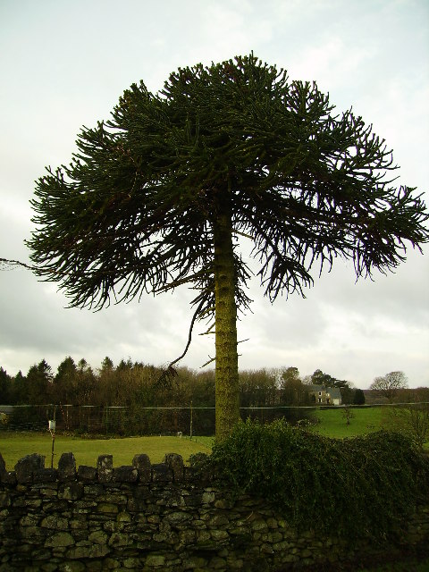 Monkey Puzzle Tree Ayside