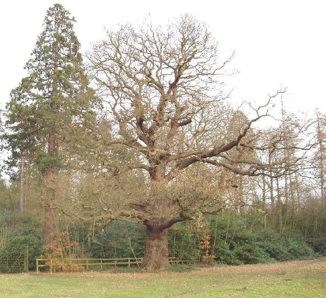 Oak tree in winter, Langley Park