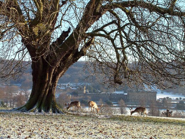 Deer in Chatsworth Park.