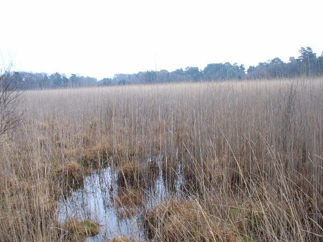 The reedbeds at Englemere Pond
