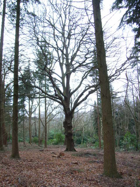 Woodland in Windsor Great Park