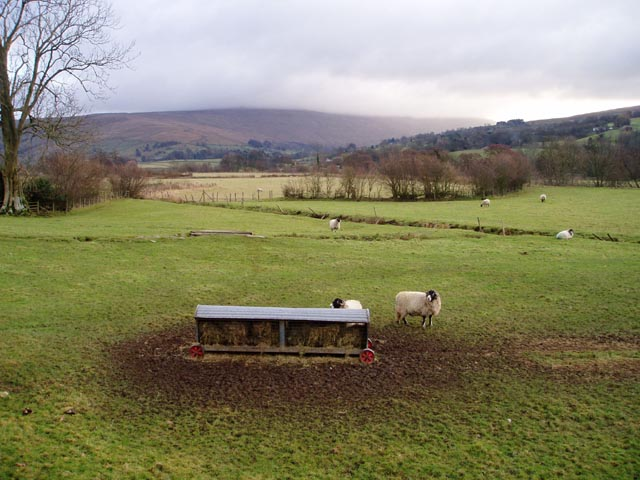 Sheep in Dentdale