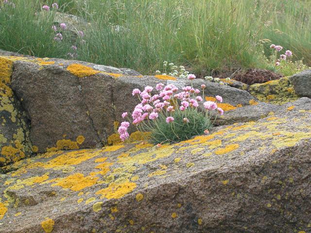 Sea Pink, Cramond Island
