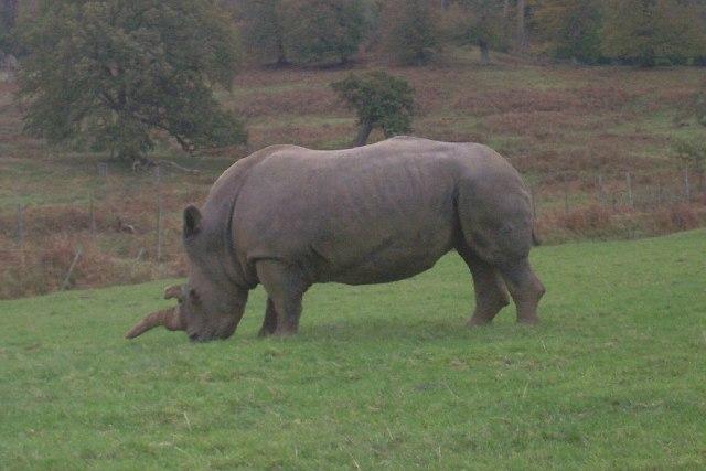 Rhino at Longleat