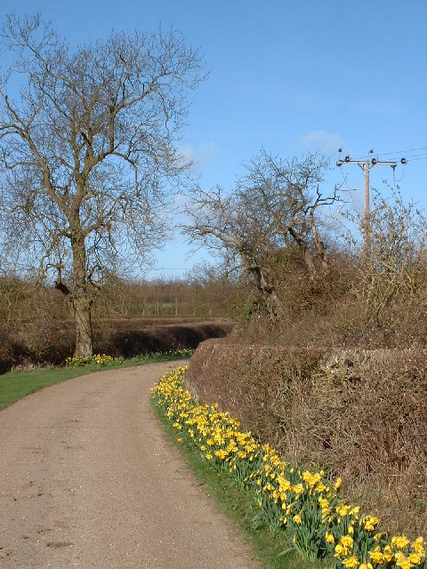 Daffodils in lane to Hill Farm