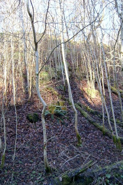 Winter Birches in Den of Alyth