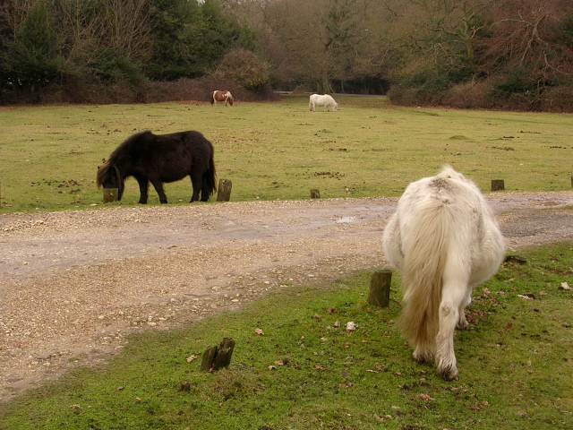 Miniature ponies grazing near Fritham, New Forest