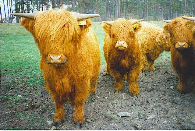 Highland Cattle, near Knock