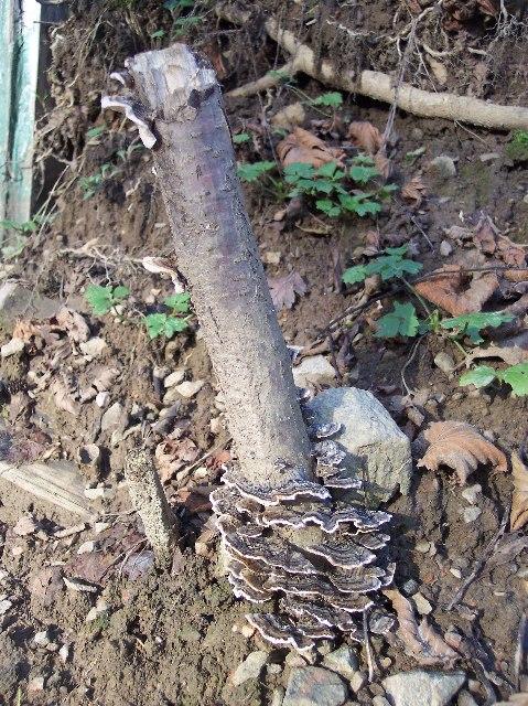 Trametes versicolor fungus