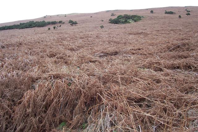Up the bracken beds towards hospital plantation.