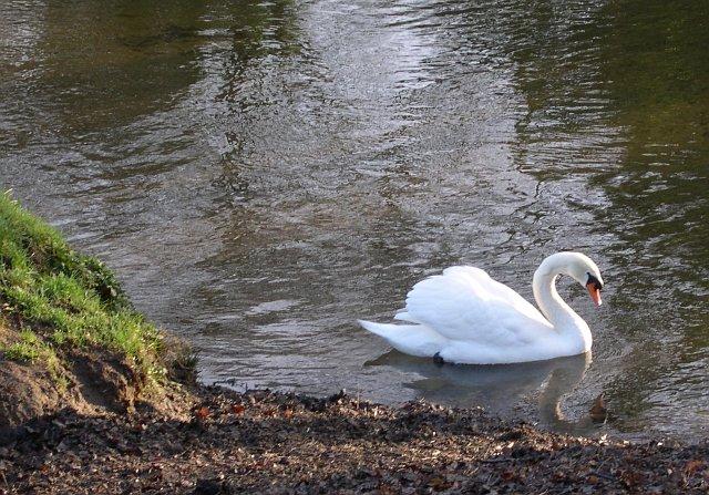 Swan on the River Fowey