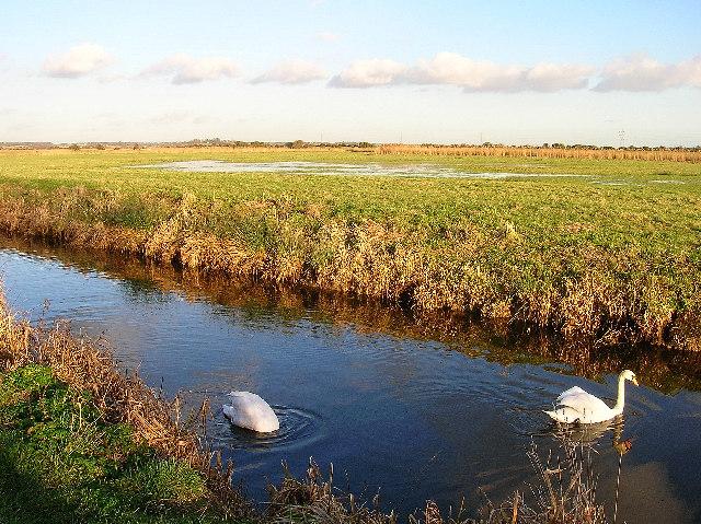 Camera shy swan, Pevensey Levels