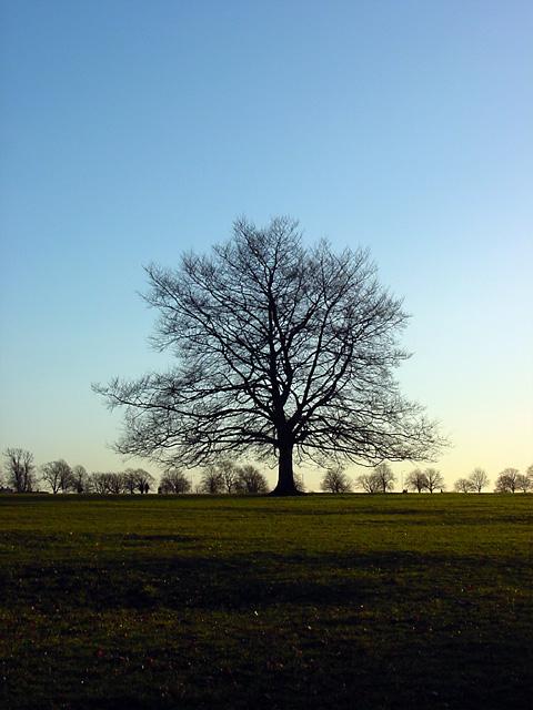 Tree on Durdham Downs