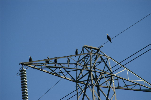 Cormorants resting on a pylon by South Drain on the River Brue