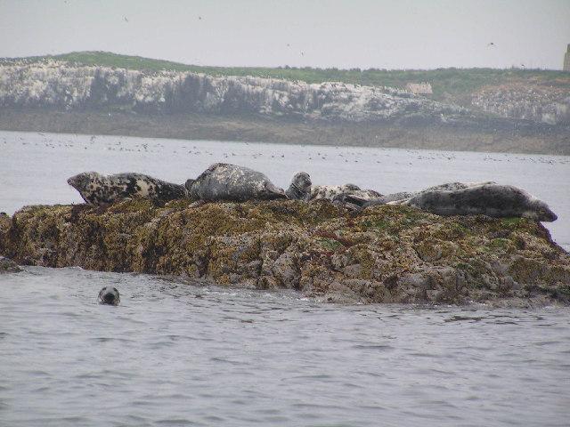 Seals on Gun Rock, Farne Islands