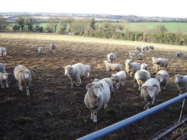 Sheep near Gundleton