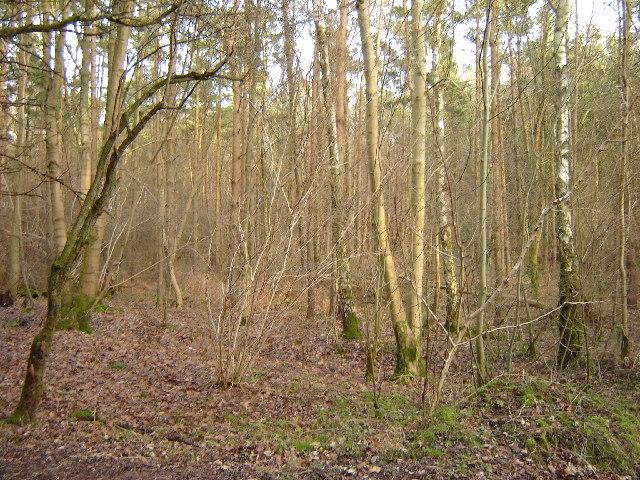 Upper Abbotstone Wood near Northington