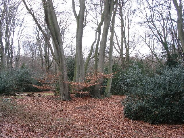Beeches near Theydon Bois