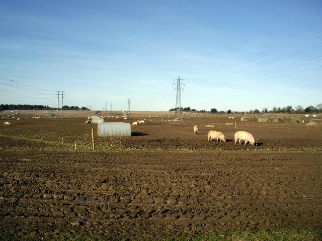 Pigs at Down Farm