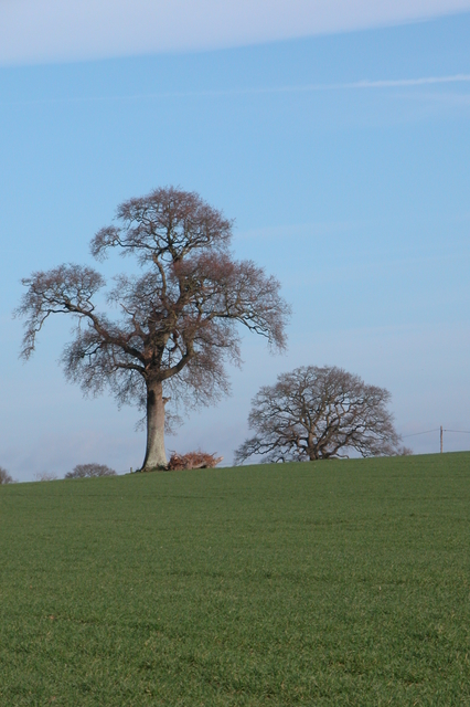 Trees in field, North of Southwick.